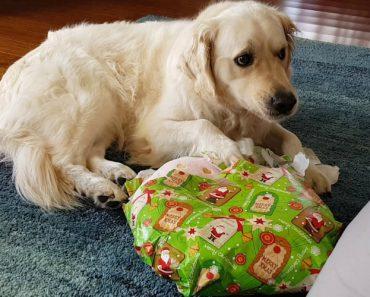 Porque Não Se Devem Embrulhar As Prendas De Natal De Um Cão 4