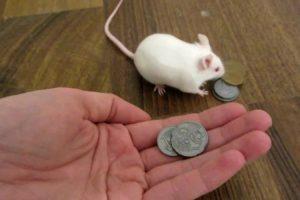 Rato Inteligente Troca Dinheiro Por Comida 10