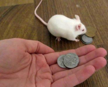 Rato Inteligente Troca Dinheiro Por Comida 23