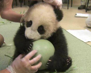 Panda Bebé Adora Brincar Com a Sua Bola 3