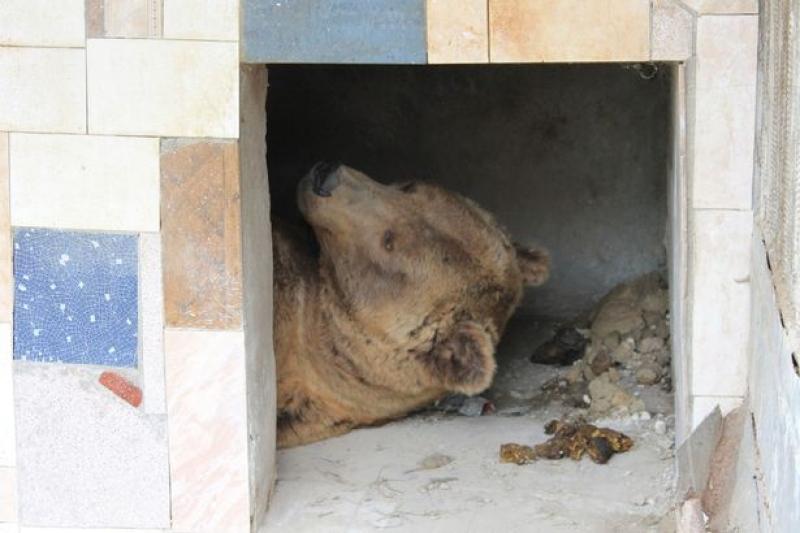 Urso Abraça Árvore e Brinca Na Neve Após Ser Resgatado De 20 Anos Em Cativeiro 1