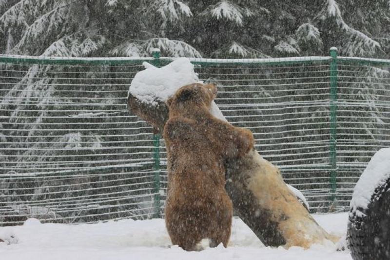 Urso Abraça Árvore e Brinca Na Neve Após Ser Resgatado De 20 Anos Em Cativeiro 3