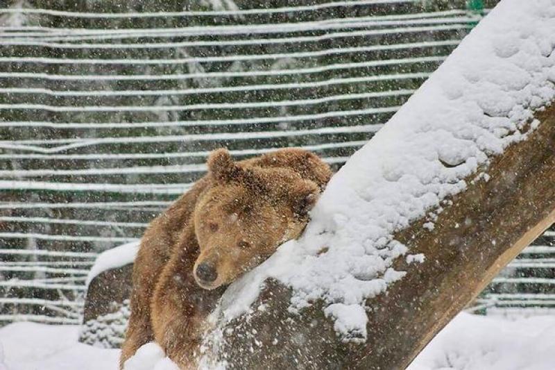 Urso Abraça Árvore e Brinca Na Neve Após Ser Resgatado De 20 Anos Em Cativeiro 4