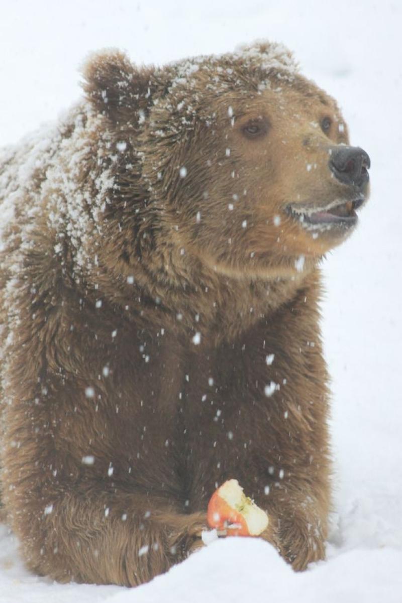 Urso Abraça Árvore e Brinca Na Neve Após Ser Resgatado De 20 Anos Em Cativeiro 5