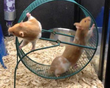 O Que Acontece Quando 3 Hamsters Insistem Em Andar Na Mesma Roda Ao Mesmo Tempo 3