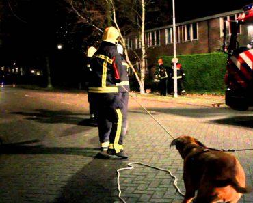 Cão Quer a Todo o Custo Ajudar Os Bombeiros a Remover Árvore 1