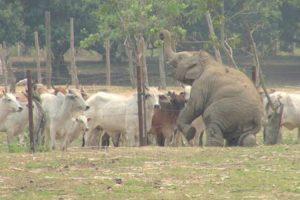 Elefante Bebé Faz Enorme Esforço Para Captar a Atenção Das Vacas, Mas Nada Funciona 10