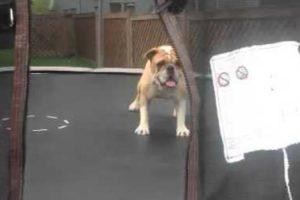 Cão Fica Eufórico e Dá Cambalhotas Em Trampolim 17