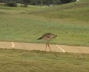 Pássaro Diverte-se Com As Bolas De Golfe Depois De Pousar Em Campo De Golfe 3