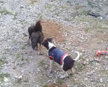 Cão Tenta Restaurar a Paz Ao Interromper Luta Entre Galinhas 4