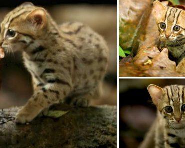 """BBC Capta Imagens Raras Do Gato """"Mais Pequeno Do Mundo"""" 5"""
