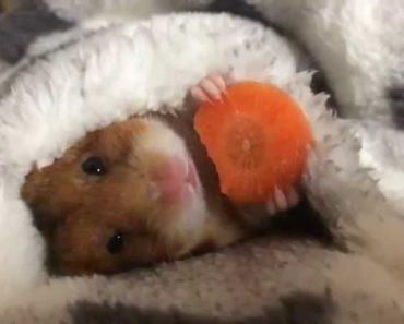 Adorável Momento Em Que Hamster Come Uma Rodela De Cenoura No Quentinho 8