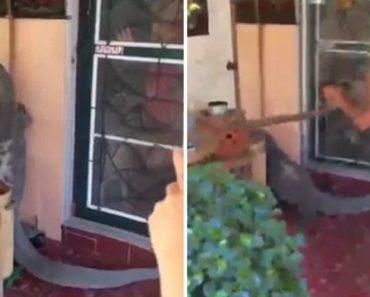 Família Chega a Casa e Encontra Gigante Lagarto Encostado à Sua Porta 4