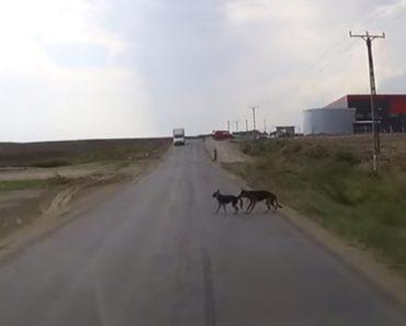 Cão Faz o Impensável Para Salvar o Amigo De Ser Atropelado Por Carro 2