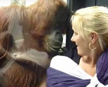 Orangotango Curioso Esforça-se Para Ver Bebê No Colo Da Mãe Pelo Vidro Da Jaula 2