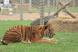 Tigre é Finalmente Libertado Depois De Passar Uma Vida Inteira Num Circo 10