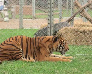 Tigre é Finalmente Libertado Depois De Passar Uma Vida Inteira Num Circo 8