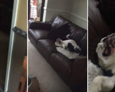Provavelmente o Pior Cão De Guarda Do Mundo 6