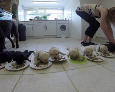 O Maravilhoso Momento Em Que 10 Labradores Bebés Comem Ração Pela Primeira Vez 2