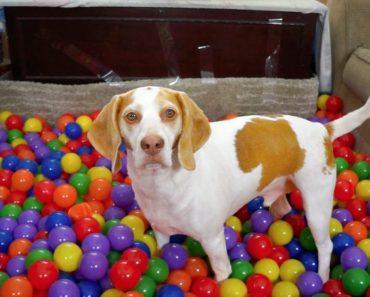 Cão Recebe Piscina Com 1000 Bolas Como Presente De Aniversário 9