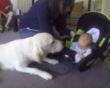 Golden Retriever Conhece Novo Bebé Da Família Pela Primeira Vez, e a Sua Reação é Maravilhosa 3