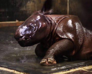 Bebé Rinoceronte Já é Uma Estrela No Zoo De Toronto 3