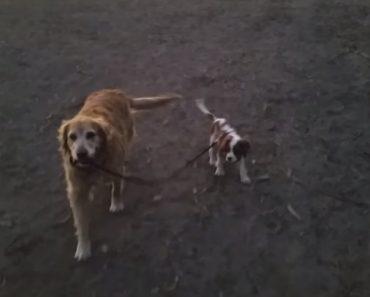 Cadela Golden Retriever Passeia Novo Amigo Com 14 Semanas 3