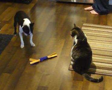 """Cão Quer Muito o Brinquedo Favorito... Mas Tem Um Gato """"Malvado"""" Pela Frente!! 9"""