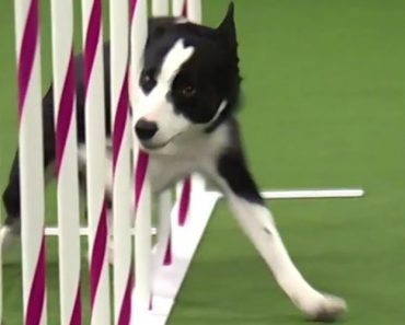 A Velocidade De Um Cão Que Venceu Uma Prova De Agilidade Em Menos De 31 Segundos 6