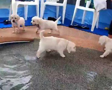 Primeira Vez De 8 Pequenos Golden Retriever a Saltar e a Nadar Numa Piscina 5