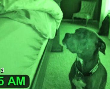 """Este Pitbull é Um Autêntico Despertador Até Tem a Função """"Snooze"""" Integrada 1"""