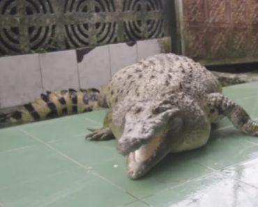 Família Indonésia Tem Crocodilo De 200 Quilos Como Animal De Estimação 9