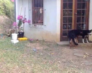 Cão Apanha o Susto Da Sua Vida Com Leãozinho Sorrateiro 1