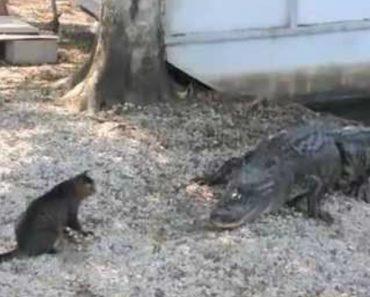 Dócil Gato Enfrenta 2 Crocodilos Para Proteger Os Seus Donos 4