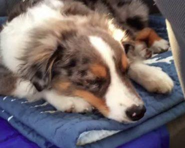 A Reação Deste Adormecido Cão Ao Ouvir A Sua Música Favorita é Impagável 7