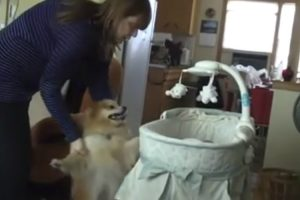 O Entusiasmo De Um Cão Ao Ver Pela Primeira Vez Em Casa Um Bebé Recém-Nascido 10