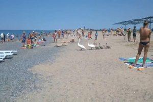 Família De Cisnes Decide Ir à Praia Lotada De Banhistas 10