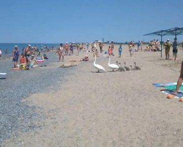 Família De Cisnes Decide Ir à Praia Lotada De Banhistas 7