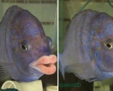 """Peixe Chama a Atenção Pelos Seus Gigantescos Lábios """"Humanos"""" 2"""
