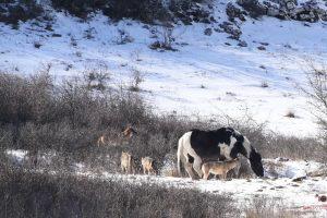 Seis Lobos Não Foram Suficientes Para Que Cavalo Se Sentisse Minimamente Ameaçado 6