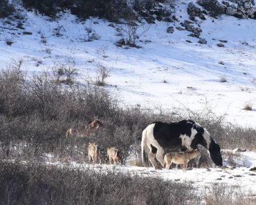 Seis Lobos Não Foram Suficientes Para Que Cavalo Se Sentisse Minimamente Ameaçado 5