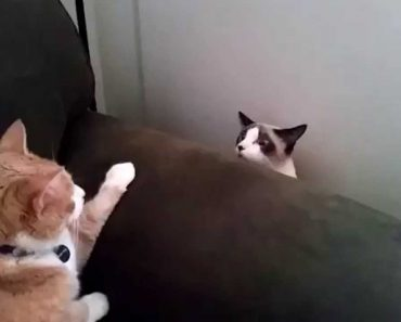 A Reação Hilariante De Um Gato Ao Ver o Seu Novo Colega De Casa 2