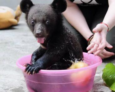 Conheça o Smudge, Um Ursinho De 4 Meses Resgatado De Uma Quinta Onde Era Mantido Em Cativeiro 5
