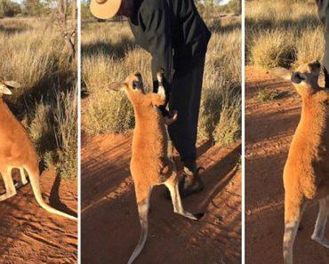 Canguru Bebé Agarra-se Ao Seu Tratador Para o Convencer a Ficar 5