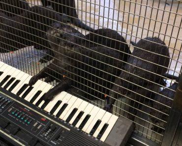 Adorável Grupo De Lontras Diverte-se Tocando Órgão 6