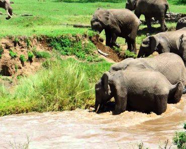 O Resgate Impressionante De Um Filhote De Elefante Levado Pela Corrente Do Rio 7