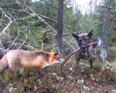A Surpreendente e Maravilhosa Amizade Entre Um Cão e Uma Raposa 7
