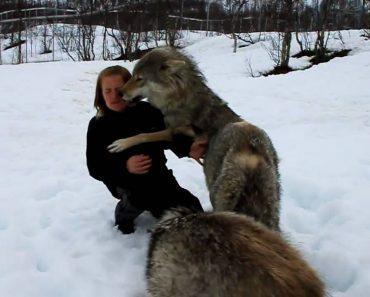 Lobos Têm Reação Maravilhosa Ao Reencontrar Mulher Que Os Criou 6