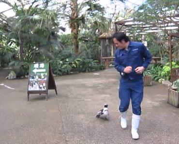 Carente Pinguim Persegue Tratador Para Todo o Lado 7
