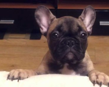 Cão Com Uma Forma Muito Curiosa e Barulhenta De Reclamar Com o Dono 7